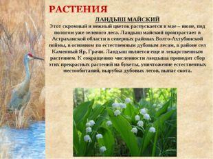 ЛАНДЫШ МАЙСКИЙ Этот скромный и нежный цветок распускается в мае – июне, под п
