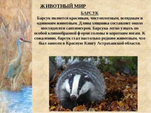 БАРСУК Барсук является красивым, чистоплотным, всеядным и одиноким животным.