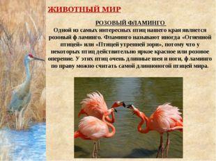 РОЗОВЫЙ ФЛАМИНГО Одной из самых интересных птиц нашего края является розовый