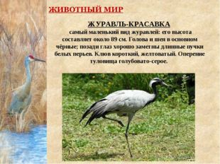 ЖУРАВЛЬ-КРАСАВКА самый маленький вид журавлей: его высота составляет около 89