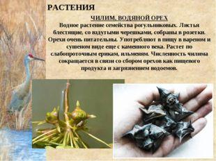 ЧИЛИМ, ВОДЯНОЙ ОРЕХ Водное растение семейства рогульниковых. Листья блестящие