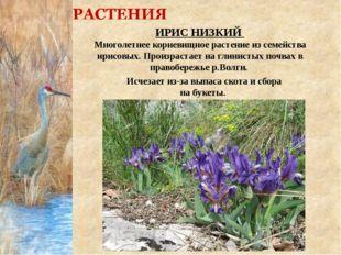 ИРИС НИЗКИЙ Многолетнее корневищное растение из семейства ирисовых. Произраст