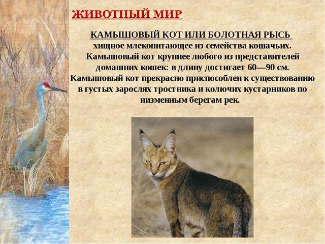 КАМЫШОВЫЙ КОТ ИЛИБОЛОТНАЯ РЫСЬ  хищноемлекопитающееиз семействакошачьих....