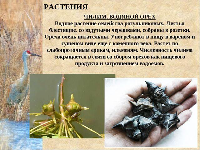 ЧИЛИМ, ВОДЯНОЙ ОРЕХ Водное растение семейства рогульниковых. Листья блестящие...