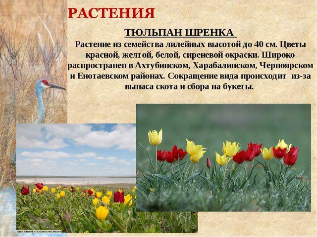 ТЮЛЬПАН ШРЕНКА Растение из семейства лилейных высотой до 40 см. Цветы красно...