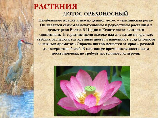 ЛОТОС ОРЕХОНОСНЫЙ Незабываемо красив и нежно душист лотос – «каспийская роза»...
