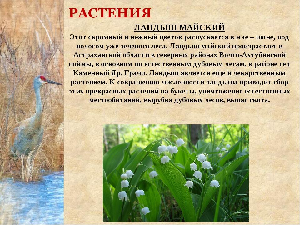 ЛАНДЫШ МАЙСКИЙ Этот скромный и нежный цветок распускается в мае – июне, под п...