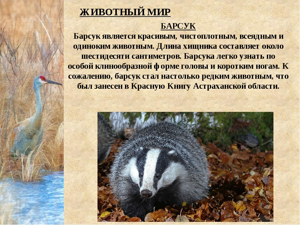 БАРСУК Барсук является красивым, чистоплотным, всеядным и одиноким животным....