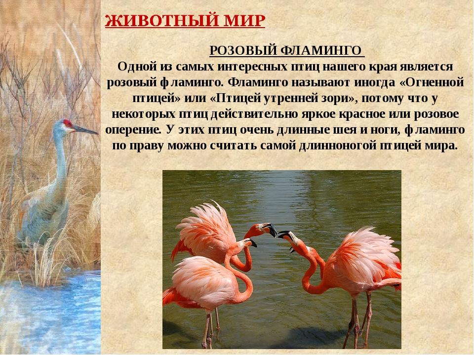 РОЗОВЫЙ ФЛАМИНГО Одной из самых интересных птиц нашего края является розовый...