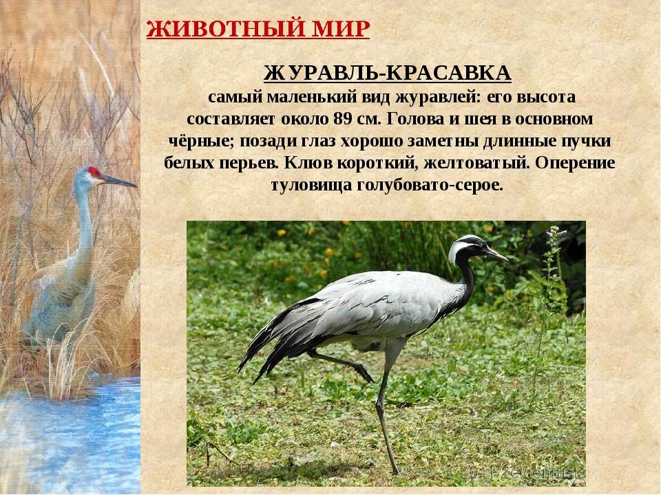 ЖУРАВЛЬ-КРАСАВКА самый маленький вид журавлей: его высота составляет около 89...