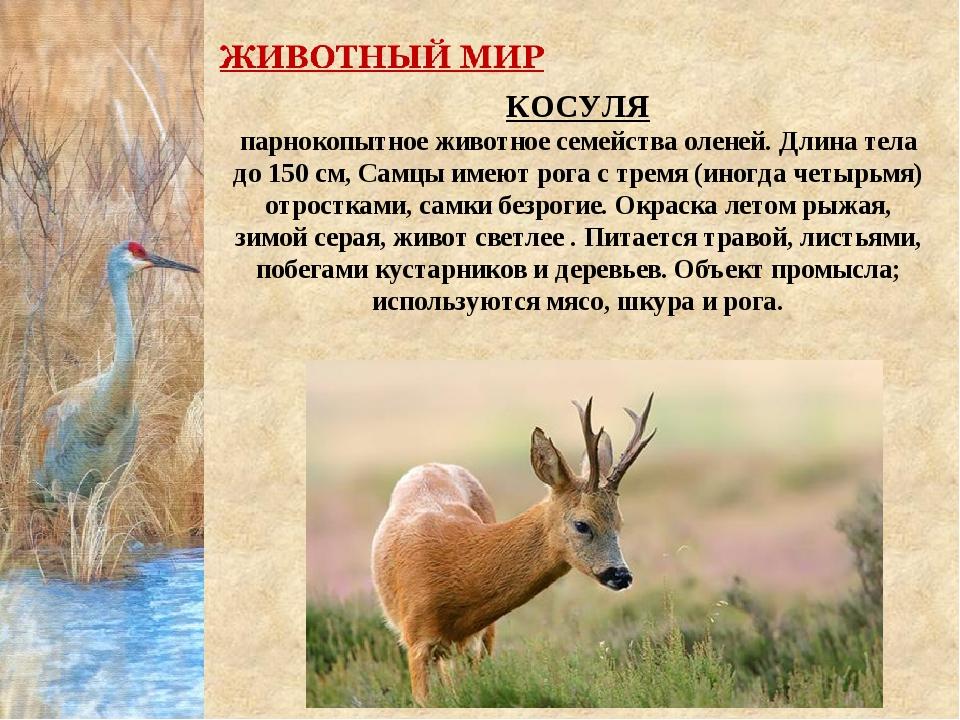 КОСУЛЯ парнокопытное животное семейства оленей. Длина тела до 150 см, Самцы и...