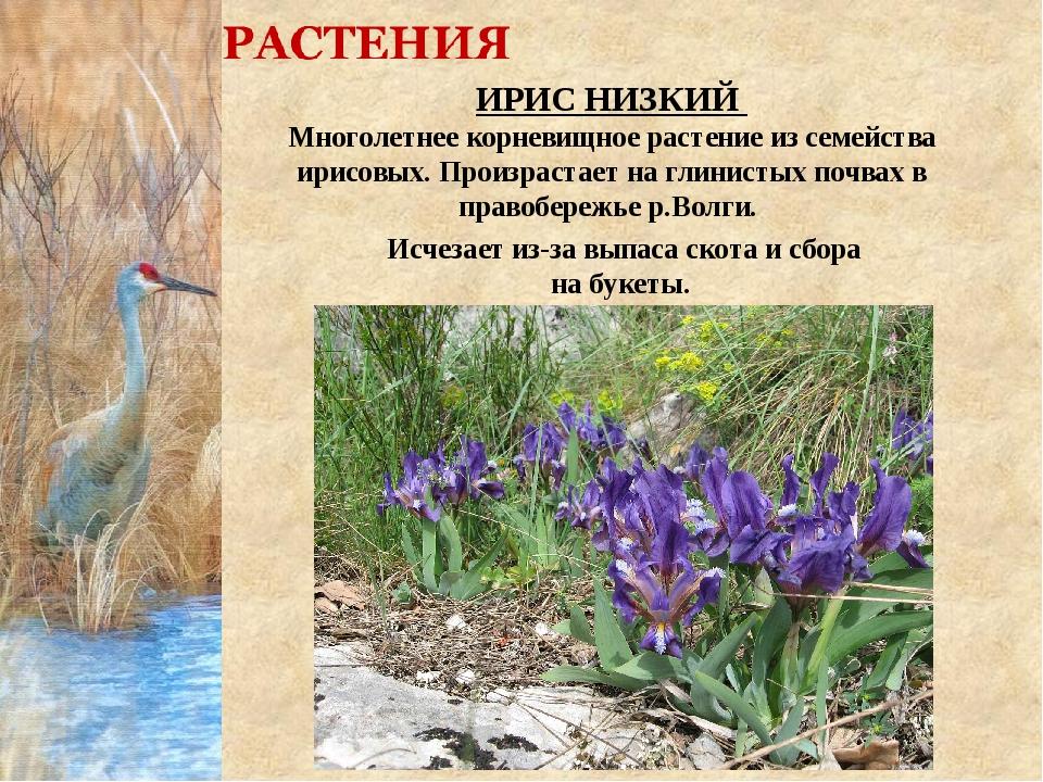 ИРИС НИЗКИЙ Многолетнее корневищное растение из семейства ирисовых. Произраст...