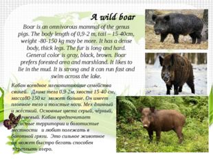 Boar is an omnivorous mammal of the genus pigs. The body length of 0,9-2 m, t
