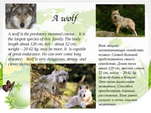 A wolf is the predatory mammal canine . It is the largest species of this fam