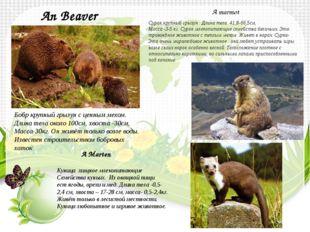 An Beaver Бобр крупный грызун с ценным мехом. Длина тела около 100см, хвоста