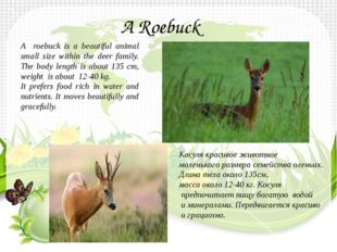 A roebuck is a beautiful animal small size within the deer family. The body l