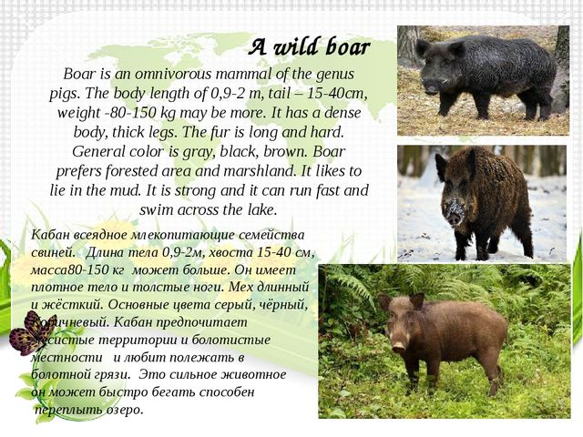 Boar is an omnivorous mammal of the genus pigs. The body length of 0,9-2 m, t...