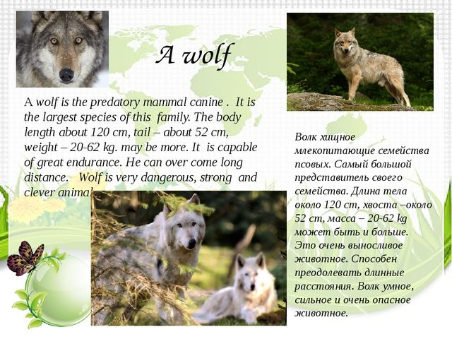 A wolf is the predatory mammal canine . It is the largest species of this fam...