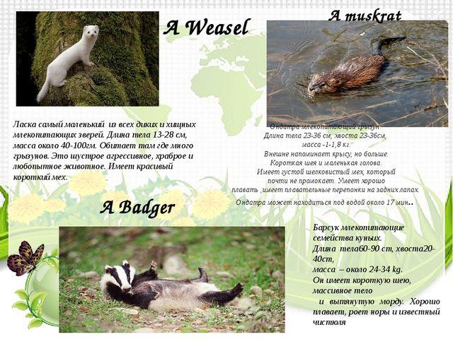A Weasel Ласка самый маленький из всех диких и хищных млекопитающих зверей. Д...