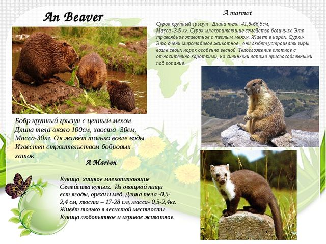 An Beaver Бобр крупный грызун с ценным мехом. Длина тела около 100см, хвоста...