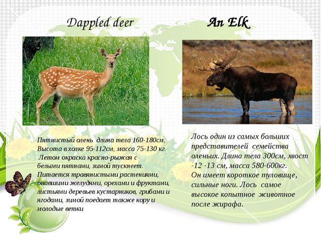 An Elk Лось один из самых больших представителей семейства оленьих. Длина тел...