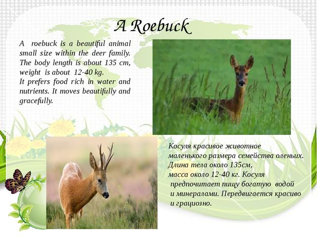 A roebuck is a beautiful animal small size within the deer family. The body l...