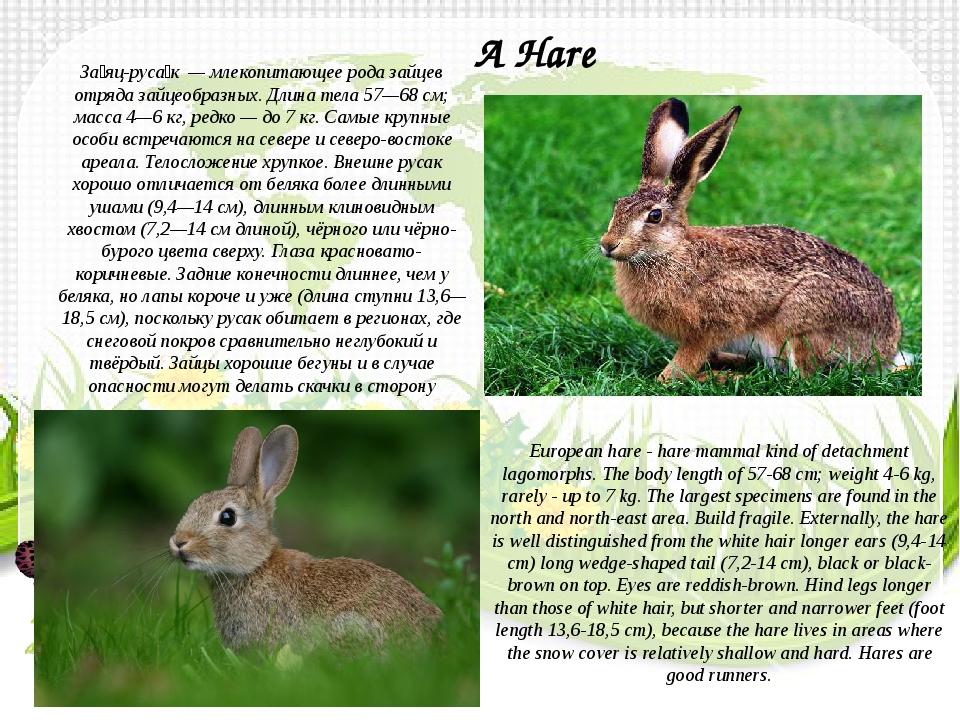 За́яц-руса́к— млекопитающее рода зайцев отрядазайцеобразных. Длина тела 57...
