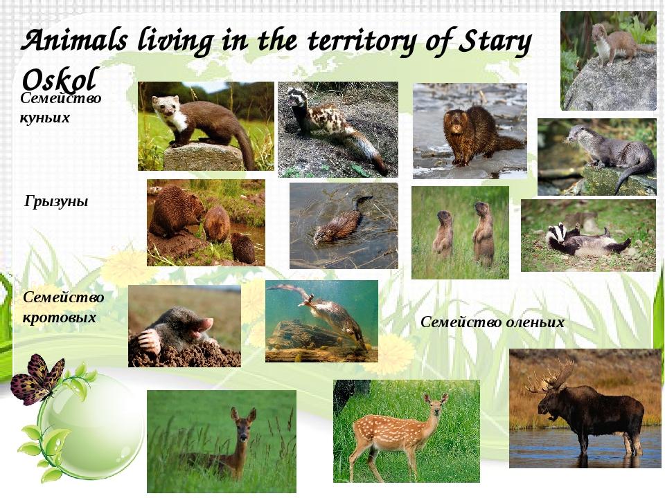 Animals living in the territory of Stary Oskol Семейство куньих Грызуны Семей...