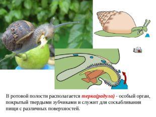 В ротовой полости располагается терка(радула) - особый орган, покрытый тверды