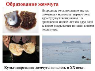 Образование жемчуга Инородные тела, попавшие внутрь раковины к моллюску, игра