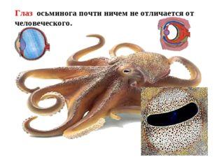 Имеется голова - на ней расположены органы чувств. Глаз осьминога почти ниче