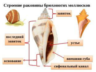 устье завиток последний завиток внешняя губа сифональный канал основание Стро