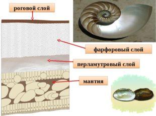 фарфоровый слой перламутровый слой мантия роговой слой
