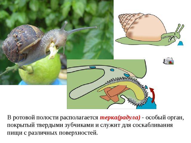 В ротовой полости располагается терка(радула) - особый орган, покрытый тверды...