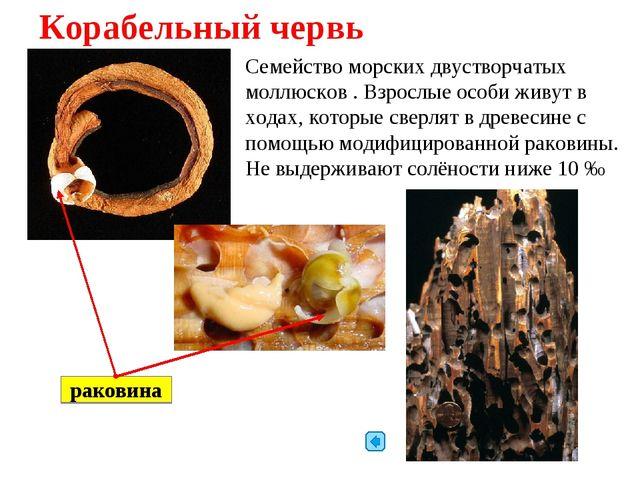 Корабельный червь Семейство морских двустворчатых моллюсков . Взрослые особи...