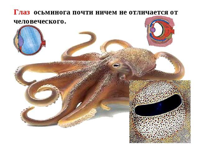 Имеется голова - на ней расположены органы чувств. Глаз осьминога почти ниче...