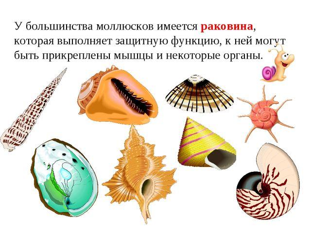 У большинства моллюсков имеется раковина, которая выполняет защитную функцию,...