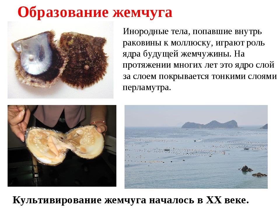 Образование жемчуга Инородные тела, попавшие внутрь раковины к моллюску, игра...