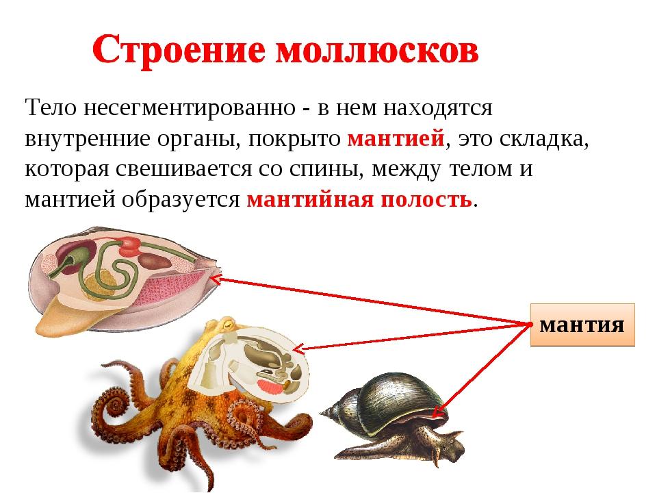 Тело несегментированно - в нем находятся внутренние органы, покрыто мантией,...