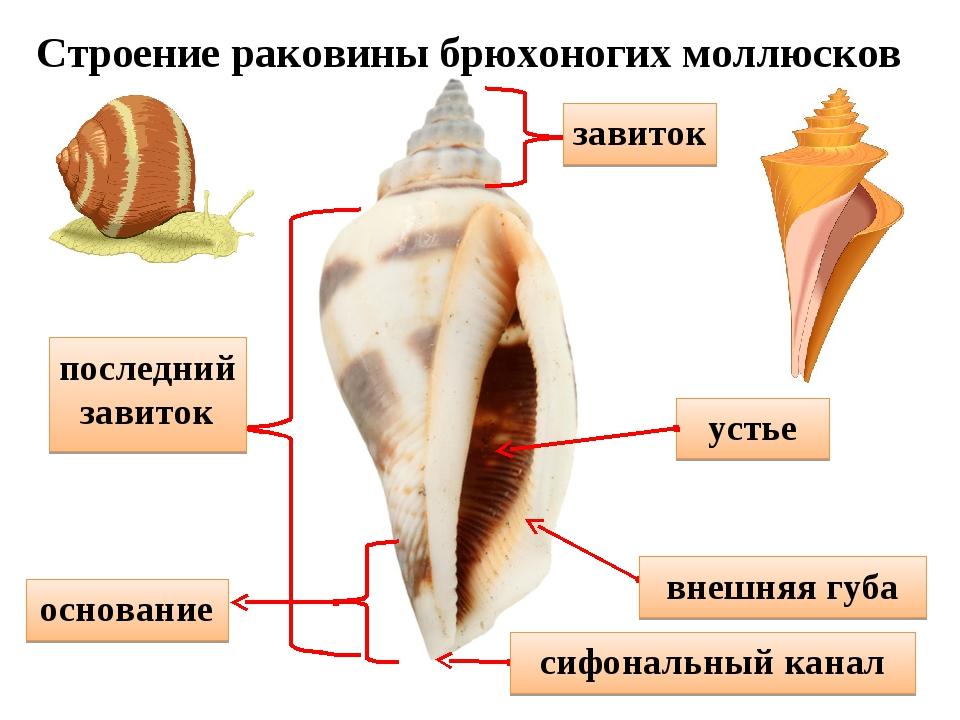 устье завиток последний завиток внешняя губа сифональный канал основание Стро...