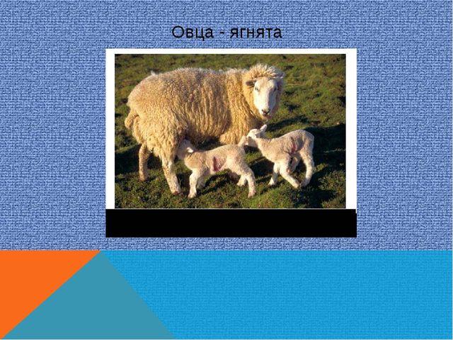 Овца - ягнята