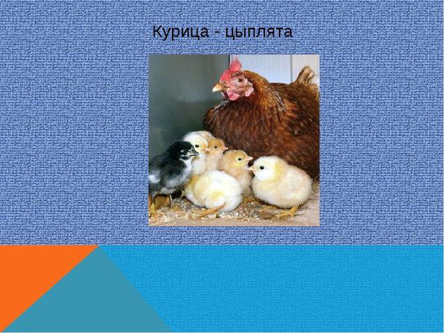 Курица - цыплята