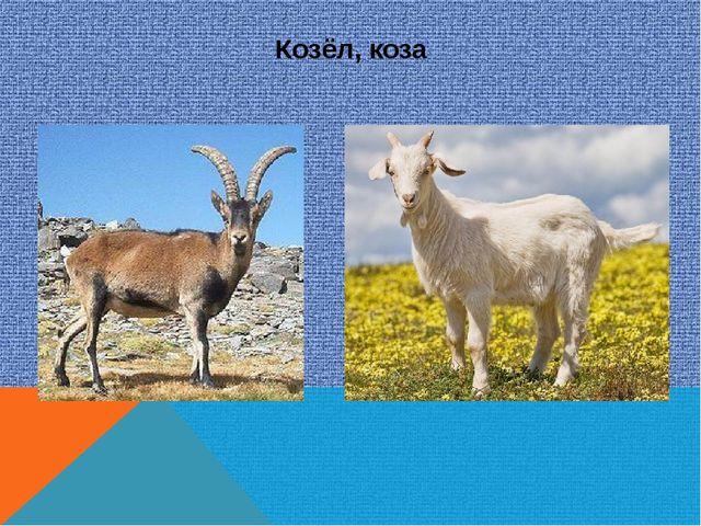 Козёл, коза