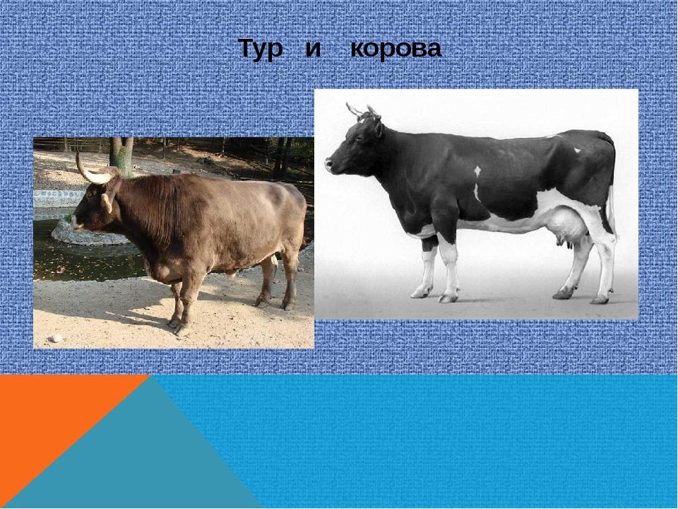 Тур и корова