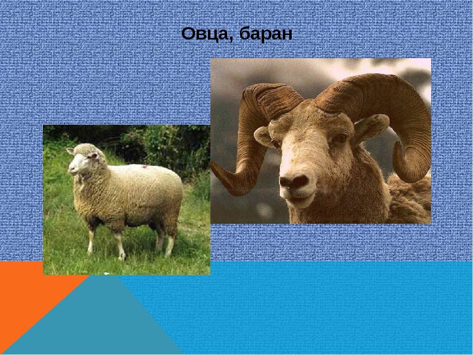 Овца, баран