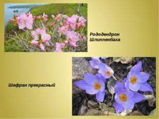 Рододендрон Шлиппенбаха Шафран прекрасный