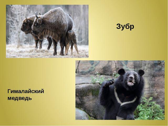 Зубр Гималайский медведь