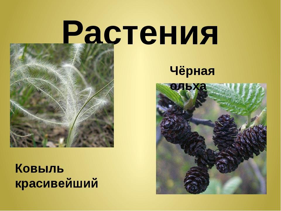 Растения Ковыль красивейший Чёрная ольха