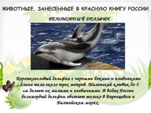 БЕЛОМОРДЫЙ ДЕЛЬФИН Короткоголовый дельфин с черными боками и плавниками , дли