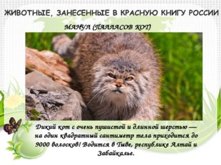 МАНУЛ (ПАЛЛАСОВ КОТ) Дикий кот с очень пушистой и длинной шерстью — на один к